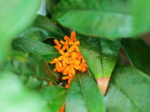 キンモクセイの葉に隠れた花